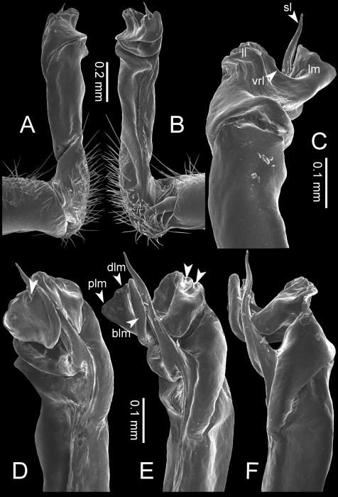 Desmoxytesflabellasp. n. (paratype) – right gonopod.