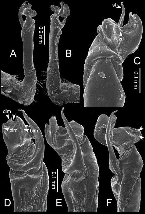 Desmoxytesperakensissp. n. (paratype) – right gonopod.