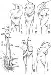 Desmoxytestaurina(Pocock, 1895), lectotype