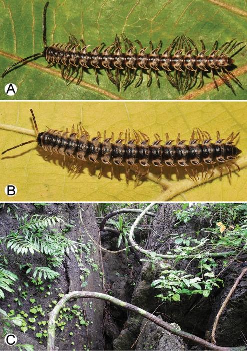 Desmoxytesterae(Jeekel, 1964) (specimens from Tham Tone Din) and habitat.