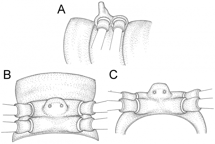 Desmoxyteswaepyanensissp. n. (male paratype)
