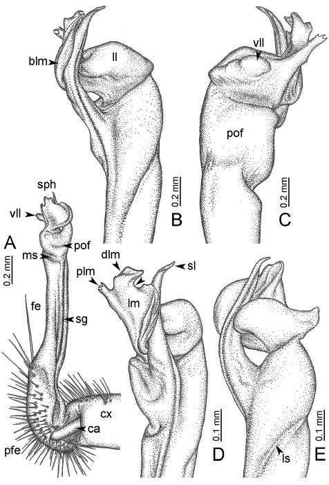 Desmoxyteswaepyanensis (paratype) – right gonopod.