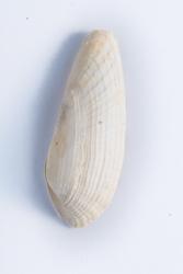 Witte boormossel