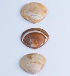 Ovale strandschelp