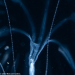 Geryonia proboscidalis; Florida, western Atlantic Ocean