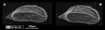 Cytherura sp. aff. C. swaini Bold, 1963