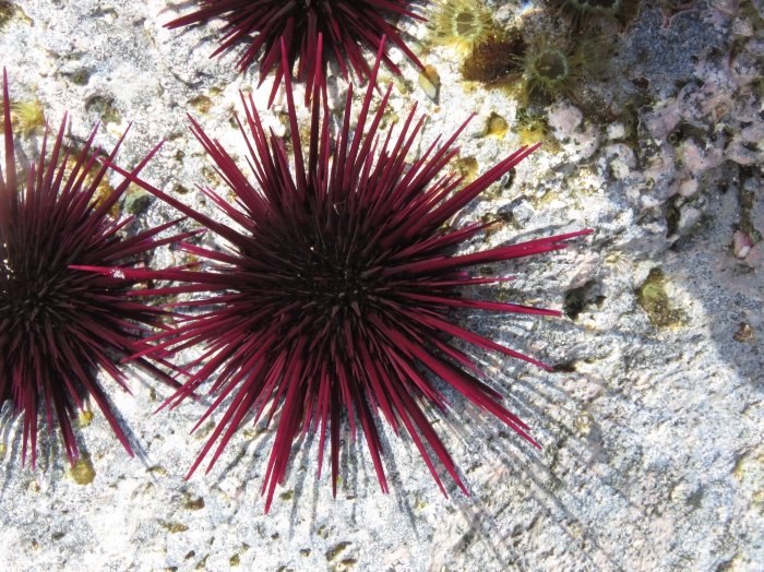Echinometra insularis aboral