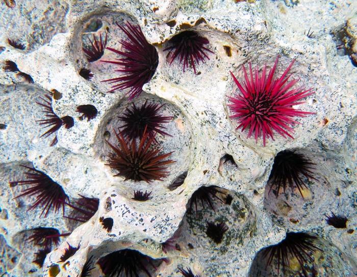Echinometra insularis color variants