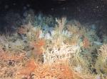 Observatie van diepwaterkoraal door ROV Zonnebloem