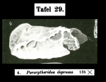 Paracytheridea depressa Mu¨ller, 1894 from the original description