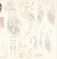 Miracia gracilis Mrázek, A. (1895).