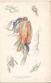 Anomalocera patersonii