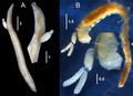 Ophelicola kurambia females on hosts