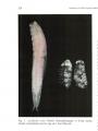 Ascidicola rosea