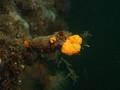 Botrylloides violaceus growing on  Styela clava