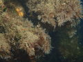 Styela clava overgrown with Tricellaria inopinata