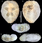 Corparva lyrida (Holotype)