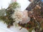 Zeeanjelier Metridium senile