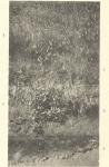 Massart (1908, foto 102 B.)