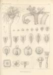 Van Beneden, P.-J. (1844). Recherches sur l'embryogénie des Tubulaires, et l'histoire naturelle des différents genres de cette famille qui habitent la côte d'Ostende Nouveaux Mémoires de l'Académie Royale des Sciences et des Belles-Lettres de Br