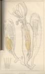 Van Beneden (1845, pl. 1)