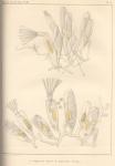 Van Beneden, P.-J. (1845). Recherches sur l'organisation des Laguncula et l'histoire naturelle des différents Polypes bryozoaires qui habitent la côte d'Ostende Nouveaux Mémoires de l'Académie Royale des Sciences et des Belles-Lettres de