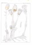 &lt;B&gt;Van Beneden, P.-J.&lt;/B&gt; (1845). Recherches sur l'anatomie, la physiologie et le développement des Bryozoaires qui habitent la côte d'Ostende (suite): histoire naturelle du genre <i>Pedicellina</i> <i>Nouveaux Mémoires de l'Académie Royale des Sciences e