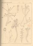 Van Beneden (1867, pl. 05)