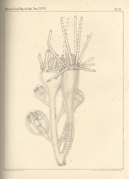 Van Beneden (1867, pl. 06)