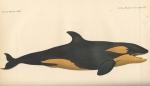 Van Beneden, P.-J. (1882). Mémoire sur les Orques observés dans les mers d'Europe Mém. Acad. R. Sci. Lett. B.-Arts Belg., Collect. 4  XLIII: 1-32, plates I-IV
