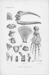 <B>Van Beneden, P.-J.; Gervais, P.</B> (1880). Ostéographie des cétacés vivants et fossiles, comprenant la description et l'iconographie du squelette et du système dentaire de ces animaux ainsi que des documents relatifs à leur histoire naturelle. Arthus