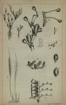 Westendorp, G.D. (1843). Recherches sur les Polypiers flexibles de la Belgique, et particulièrement des environs d'Ostende Annales de la Société Médico-Chirurgicale de Bruges IV: 5-48, 1 plate