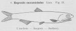 Gilson (1921, fig. 21)