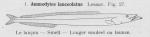 Gilson (1921, fig. 27)