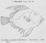 Zeiformes