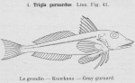 Gilson (1921, fig. 41)