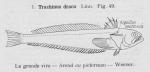 Gilson (1921, fig. 49)