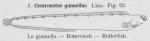 Gilson (1921, fig. 52)