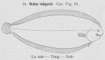 Gilson (1921, fig. 81)