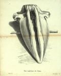 Dubar, J. (1828). Ostéographie de la baleine échouée à l'est du port d'Ostende, le 4 novembre 1827; précédée d'une notice sur la découverte et la dissection de ce Cétacée. Laurent Frères, Imprimeurs-Libraires: Bruxelles. 61, 13 folded plates pp.