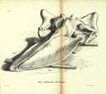 <B>Dubar, J.</B> (1828). Ostéographie de la baleine échouée à l'est du port d'Ostende, le 4 novembre 1827; précédée d'une notice sur la découverte et la dissection de ce Cétacée. Laurent Frères, Imprimeurs-Libraires: Bruxelles. 61, 13 folded plates pp.