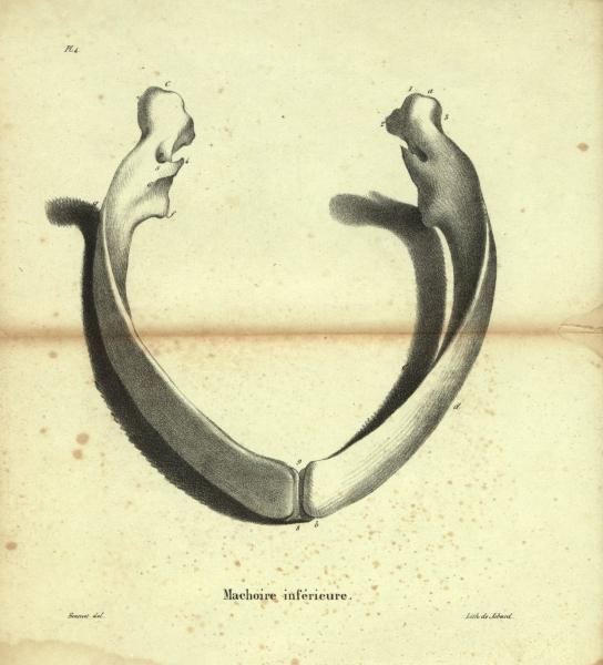 Dubar (1828, pl. 04)