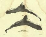 Dubar (1828, pl. 09)