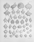 &lt;B&gt;Meunier, A.&lt;/B&gt; (1919). Microplankton de la Mer Flamande: 3. Les Péridiniens. <i>Mémoires du Musée Royal d'Histoire Naturelle de Belgique = Verhandelingen van het Koninklijk Natuurhistorisch Museum van België</i>, VIII(1). Hayez, imprimeur de l'Académi
