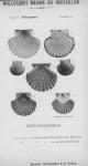 Bucquoy <i>et al.</i> (1887-1898, pl. 13)