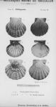Bucquoy et al. (1887-1898, pl. 19)