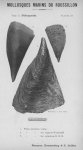 Bucquoy <i>et al.</i> (1887-1898, pl. 23)