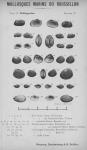 Bucquoy et al. (1887-1898, pl. 37)