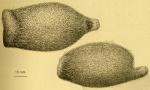 Helgocystis carinata