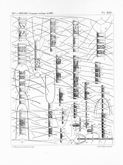 Meunier (1910, pl. 25)